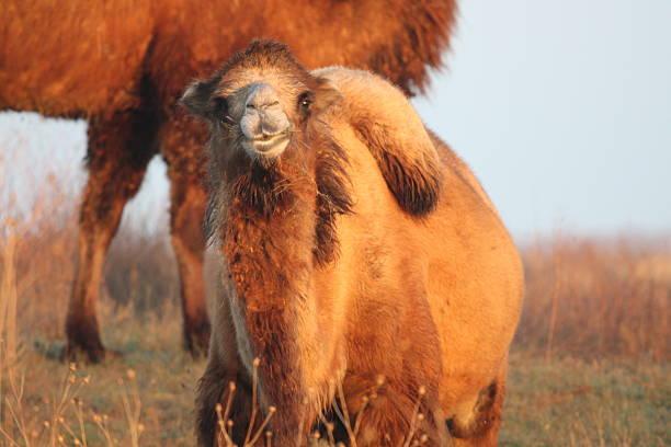 Das camel – Foto
