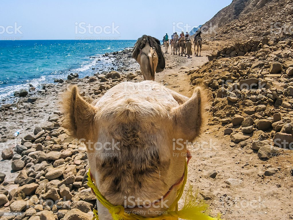 the camel ride stock photo