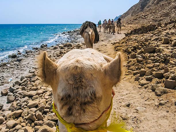 the camel ride stock photo
