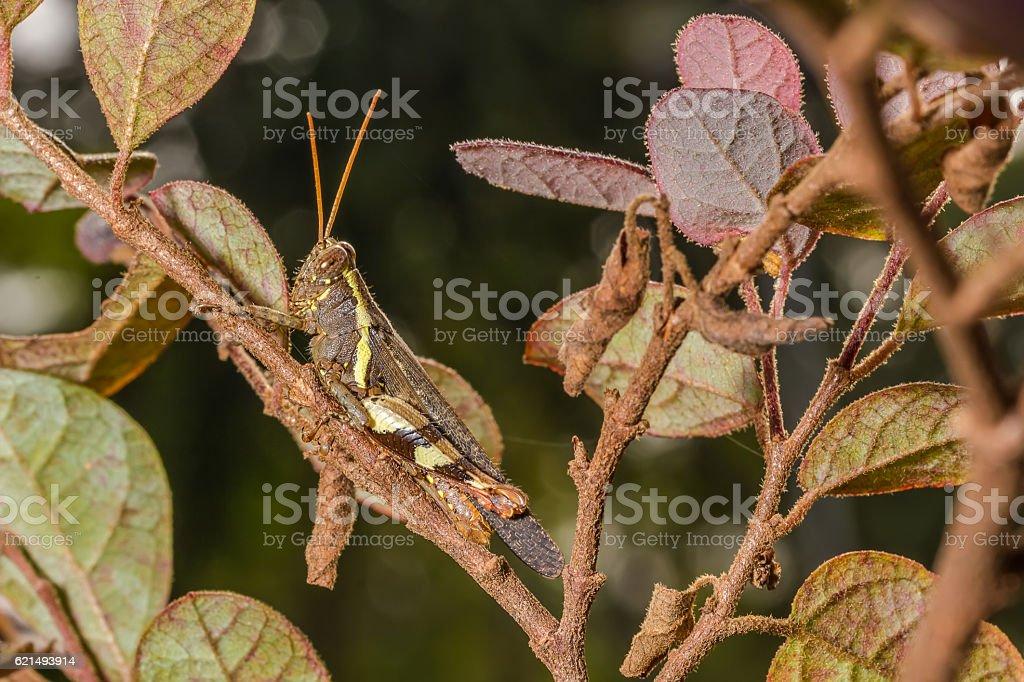 The Camouflage Grasshopper photo libre de droits