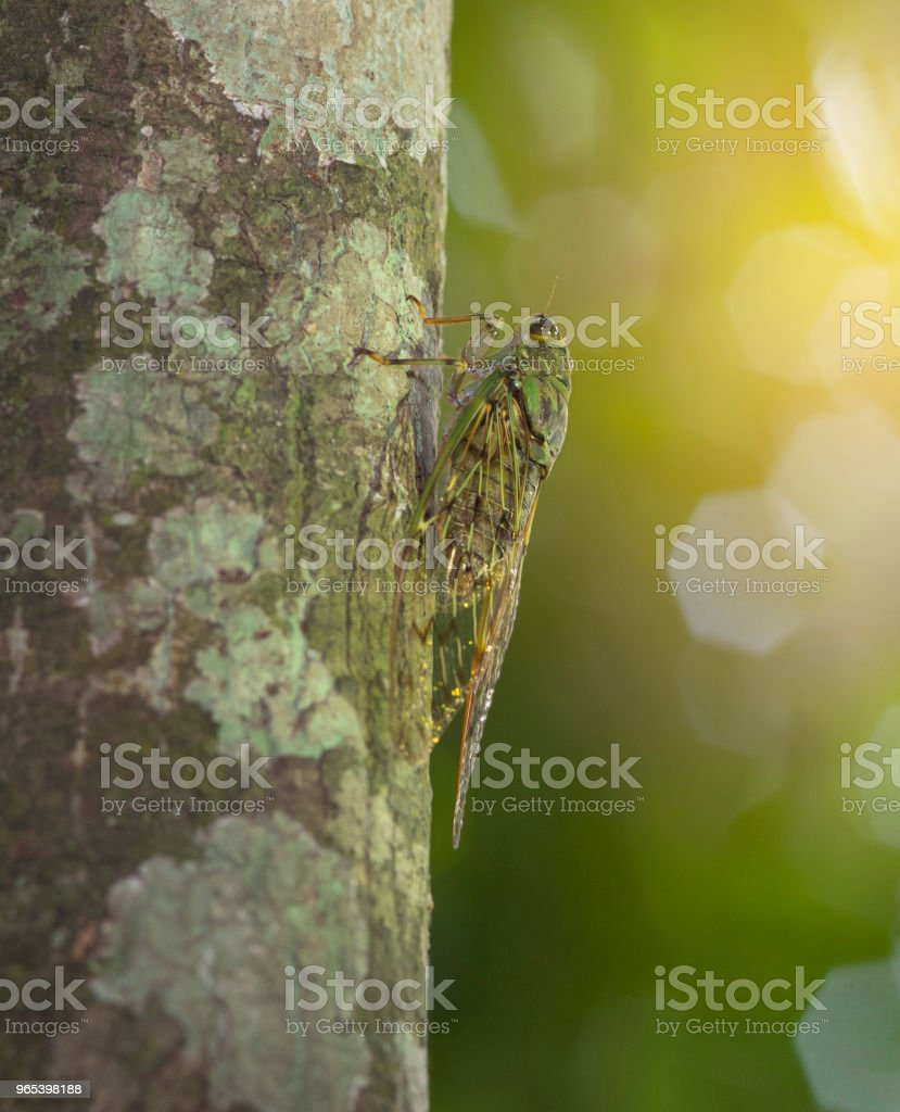 The camouflaged insects in nature. Cicada royalty-free stock photo