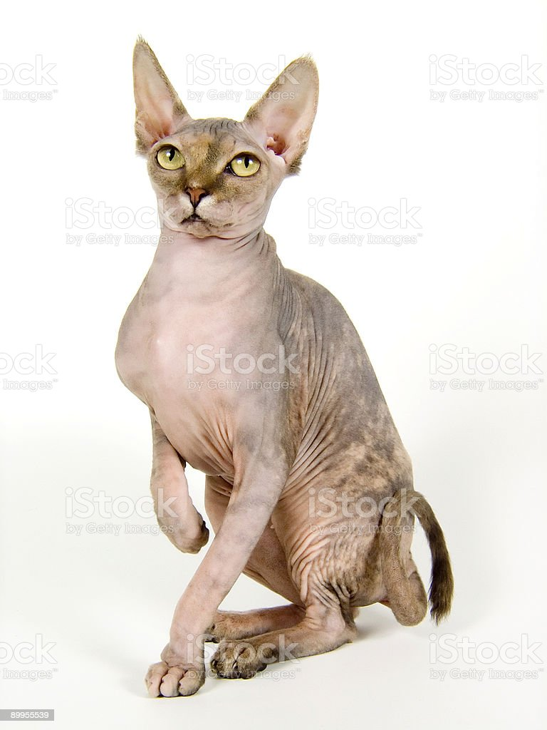The Canadian sphinx royalty-free stock photo