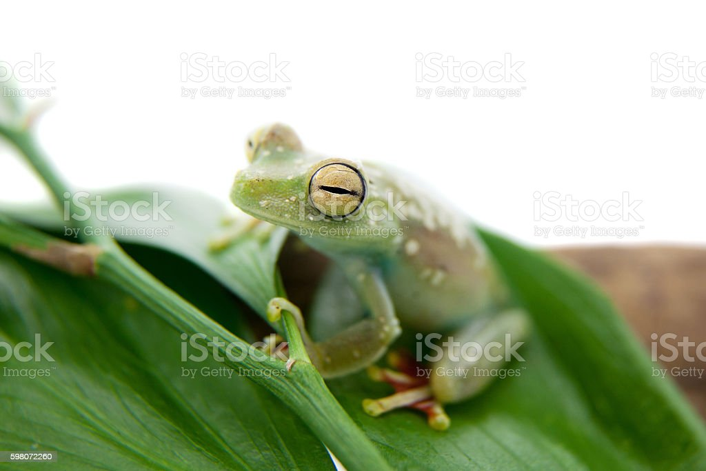 The Canal Zone tree frog on white stock photo
