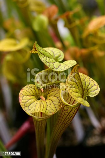 This beautiful carnivorous plants sits patiently awaiting her next  meal