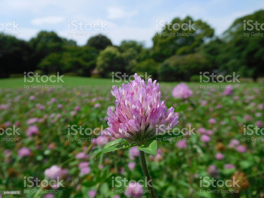 The carpet of red clovers under the blue sky stock photo