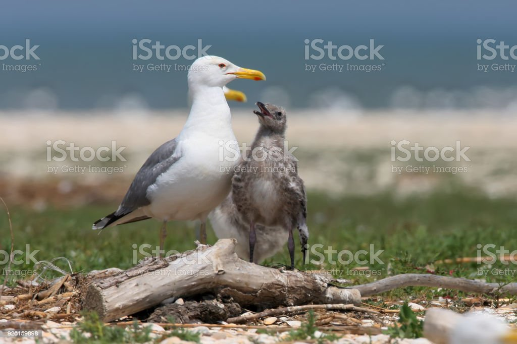 The Caspian gull (Larus cachinnans) with chick stock photo