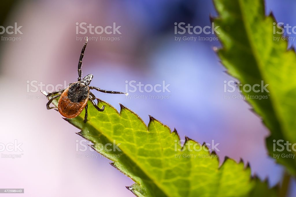 The castor bean tick (Ixodes ricinus) stock photo