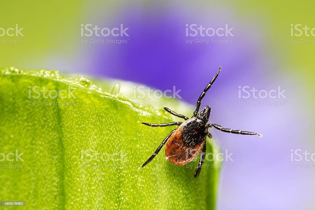 The castor bean tick (Ixodes ricinus) stock photo