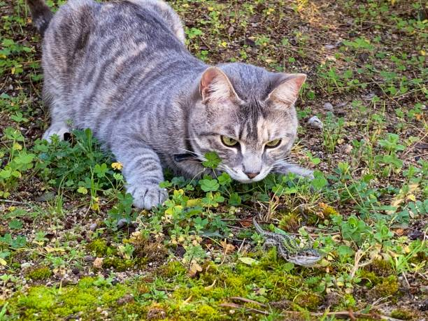 The cat and the lizard Partie de chasse d un chat hunting blind stock pictures, royalty-free photos & images