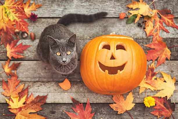 The cat and the pumpkin picture id612019264?b=1&k=6&m=612019264&s=612x612&w=0&h=lbsc0kcfxbe4hnnl8lmjl6r0efisdxjw0db6 4ksp 0=
