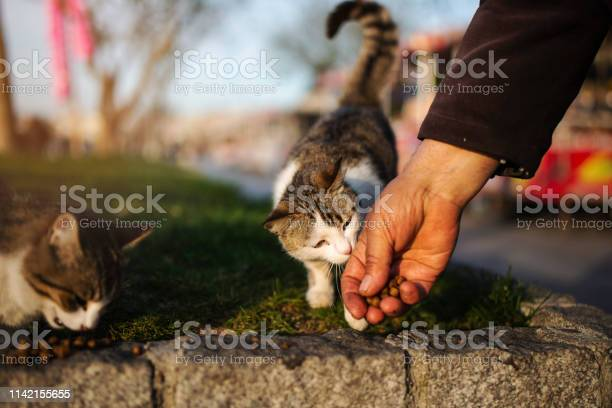 The cat eats the food from the senior man hand picture id1142155655?b=1&k=6&m=1142155655&s=612x612&h=ciklzfeoxx9kr5xzf ayew663yhsmoihvwa6wptbhpk=