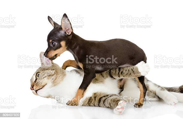 The cat fights with a dog isolated on white background picture id509407320?b=1&k=6&m=509407320&s=612x612&h=fvwpqjcmgenlbxjp wq2hydhxdyzcpbbft28sttarki=