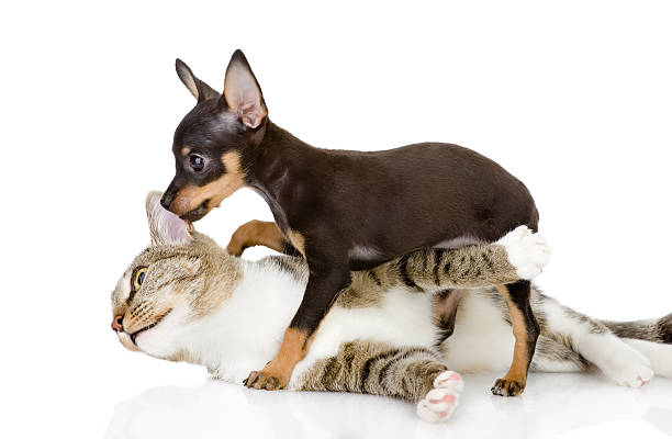 The cat fights with a dog isolated on white background picture id509407320?b=1&k=6&m=509407320&s=612x612&w=0&h=xyqtts6zenmv9jgubild2ilekn6hzmk g5hfr3x4vks=