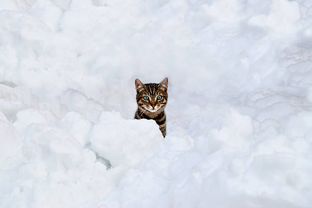 The cat hiding under the snow picture id506148758?b=1&k=6&m=506148758&s=612x612&w=0&h=ccmx0mffw1mimemrwblyton hje4z8ypfv4bd1mixoa=