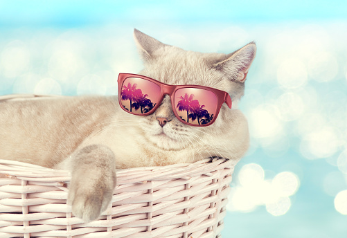 The cat in sunglasses lying in a basket
