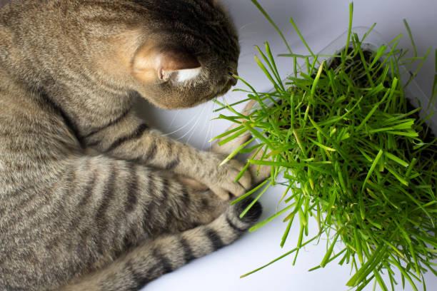 The cat is eating the grass picture id962010112?b=1&k=6&m=962010112&s=612x612&w=0&h=esyjds0d6ogkkyfolnxyepgkobebyhd01nvj9kkeg44=