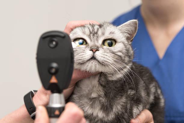 Die Katze wird vom Tierarzt untersucht. Vet leuchtet mit der Schlitzlampe im Auge des Haustieres. – Foto
