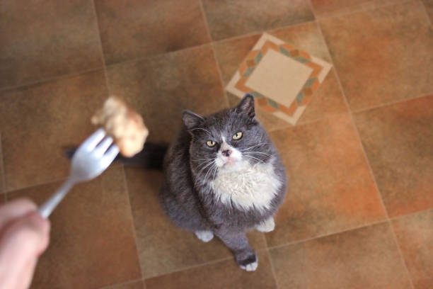 The cat is looking at food gray cat picture id1169299449?b=1&k=6&m=1169299449&s=612x612&w=0&h=d8t10o2dh2jfqmf6zdxfj7slrihwwyfnlwgsgs0qm 0=