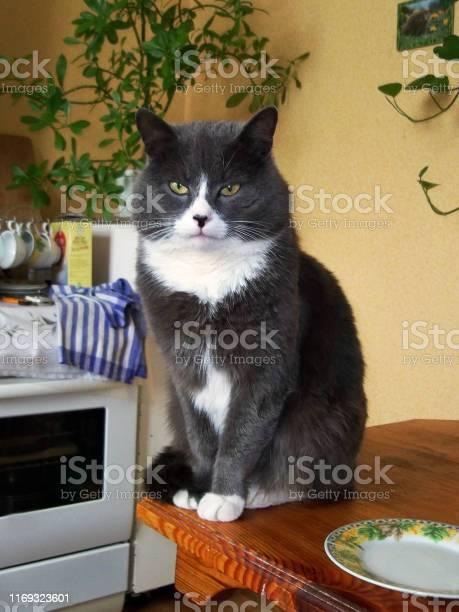 The cat is sitting on the kitchen table gray cat picture id1169323601?b=1&k=6&m=1169323601&s=612x612&h=feilquydv pa56nbsqufzqb3gz mafo1cbvksv wey4=