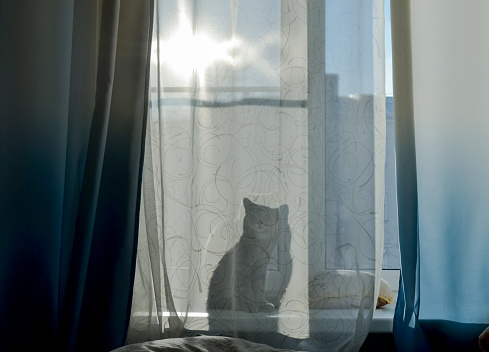 The cat is sitting on the windowsill and through the curtain you can see his shadow, a silhouette. Bright sunny day outside the window