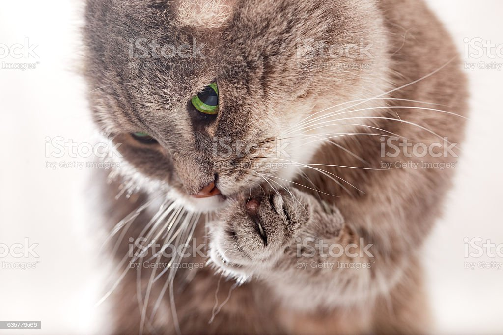 The cat licks the pad of his front paw stock photo