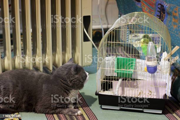 The cat lies and looks at the parrot in a cage picture id1169295456?b=1&k=6&m=1169295456&s=612x612&h=9db70gtzmltva3hsx88n zqm5n34dgxc1qcvx5qt4fe=