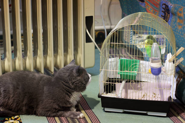 The cat lies and looks at the parrot in a cage stock photo