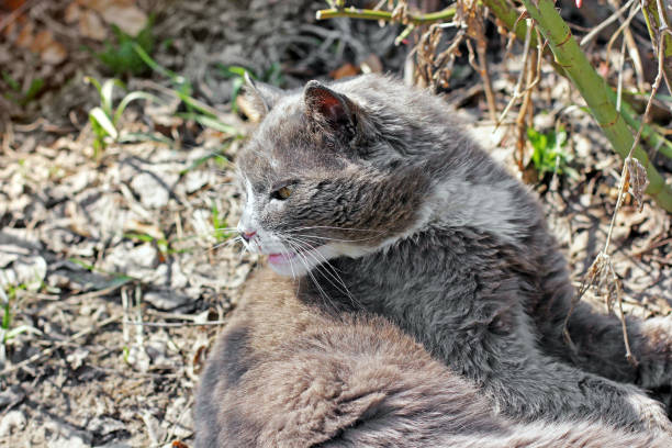 The cat lies in the garden gray cat picture id1169300748?b=1&k=6&m=1169300748&s=612x612&w=0&h=ft7kno3q2xlcp4upgqrrdxwppu3xll7stbmczimkv3s=