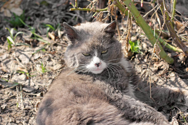 The cat lies in the garden gray cat picture id1169300766?b=1&k=6&m=1169300766&s=612x612&w=0&h=rf6uw7zeq0yqi n60mw4tfjpury4g0qmiq4i9dubdmc=