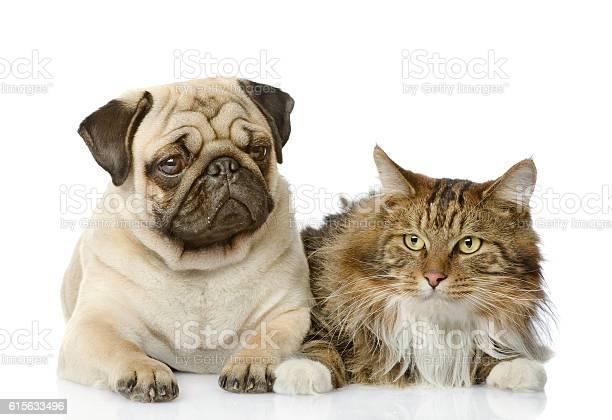 The cat lies near a dog isolated on white background picture id615633496?b=1&k=6&m=615633496&s=612x612&h=j21gq7alpkma yni 9irzetqwv nkjtfsuewdlzrnmc=