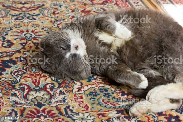 The cat lies on the carpet gray cat picture id1169310037?b=1&k=6&m=1169310037&s=612x612&h=gyuaxyusnl4ajjulvbzhzjfyd wuw0mw 093xuok2 u=
