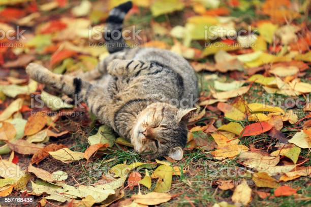 The cat lies on the fallen yellow leaves picture id857768438?b=1&k=6&m=857768438&s=612x612&h=regklxebgt6y4qve9cyv0jcrxk0xfdby7i2ba3zk gs=