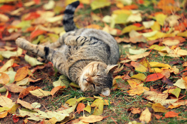 The cat lies on the fallen yellow leaves The cat lies on the fallen yellow leaves undomesticated cat stock pictures, royalty-free photos & images