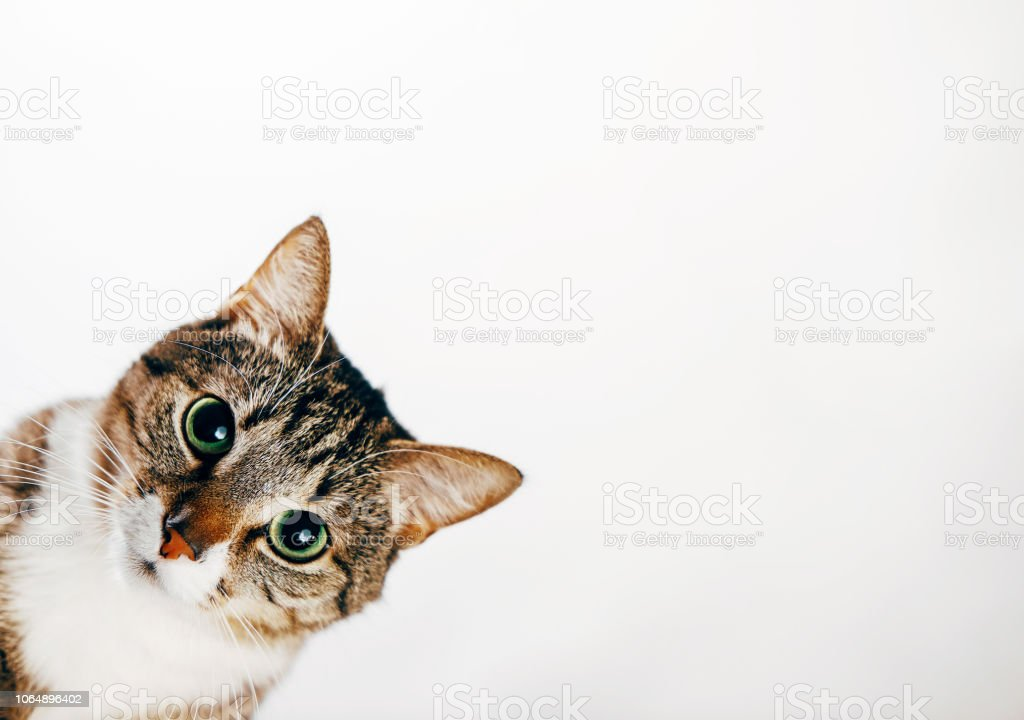 the cat looks out, cat on white background peeks around the corner