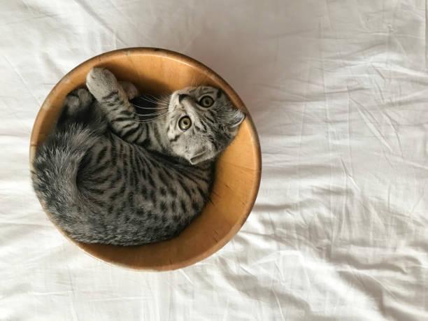 The cat playing on the bowl picture id999976214?b=1&k=6&m=999976214&s=612x612&w=0&h=jmx7gkzaiaxkozmkgvdk02htqlmd5obinaiwcvduqrc=