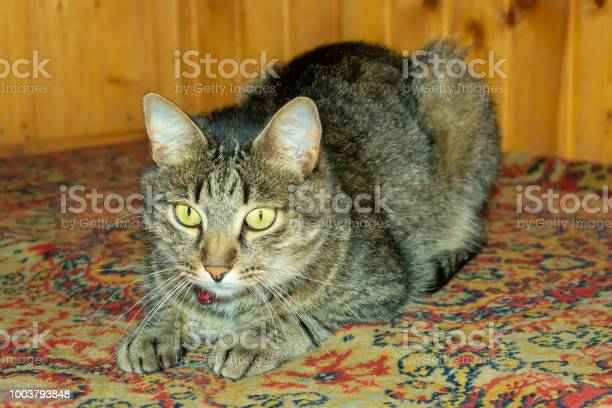The cat rests on a carpet with elongated legs like a sphinx picture id1003793848?b=1&k=6&m=1003793848&s=612x612&h=6kam6hyh79t8f95nxzcaaebskri rqpr kwabt5jrko=