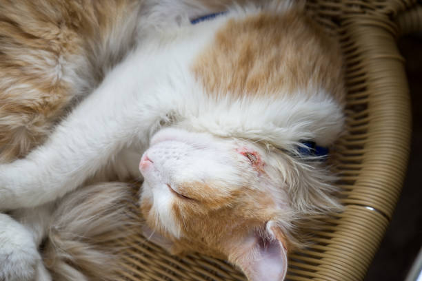 The cat sleeps with a wound healing abscess on his cheek after surgery to remove pus. stock photo