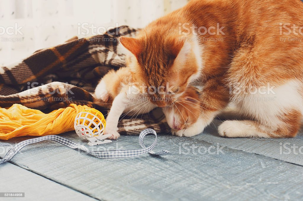 The cat takes kitten by the scruff of the neck stock photo