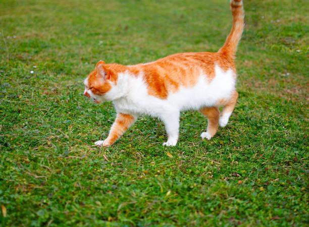The cat walks in the fresh air picture id903862244?b=1&k=6&m=903862244&s=612x612&w=0&h=0xadqdnv90xd nyq kkwi oc5rduey o6aqvqjzco30=