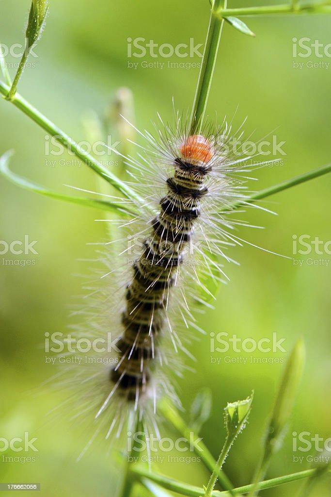 The Caterpillar . royalty-free stock photo