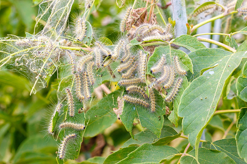 The caterpillars eat the leaves of the plant. Illustration of pests in the garden.