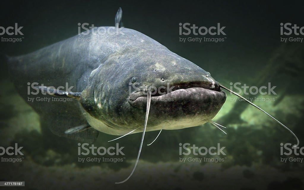 O peixe-gato (Silurus Glanis). - foto de acervo