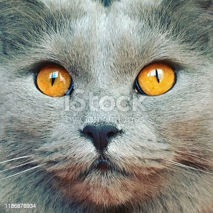 Chartreux cat's eyes. Taken with mobile phone, iPhone 6s
