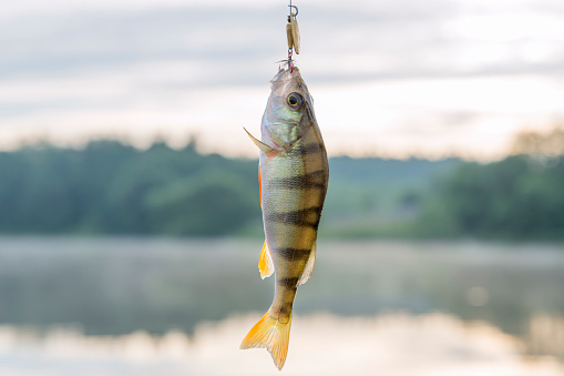 istock The caught fresh-water perch in the summer on a reservoir 801255536