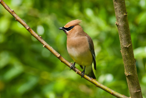 Cedar Waxwing Gathering Nesting Material Stock Photo - Download Image Now