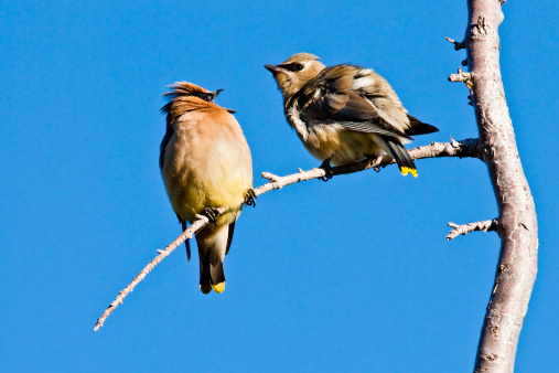 Adult Cedar Waxwing Feeding A Juvenile Stock Photo - Download Image Now