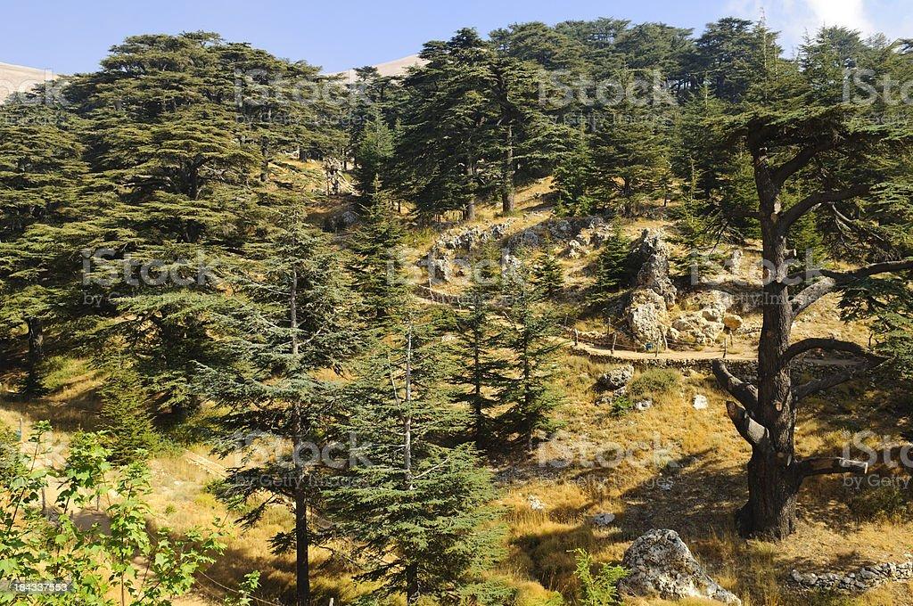 The Cedars of Lebanon stock photo