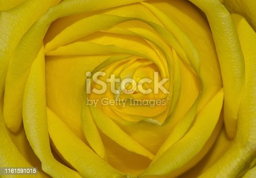 A single yellow rose shown up close in the center, highlighting the shadows and textures. It is also a symbol for happiness, joy and friendship.