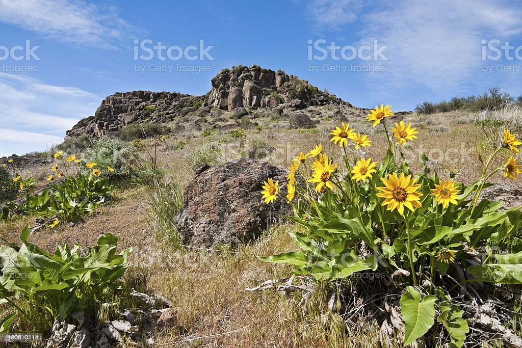 Meadow of Arrowleaf Balsamroot royalty-free stock photo