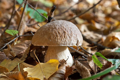 istock The cep in the autumn forest 516981665